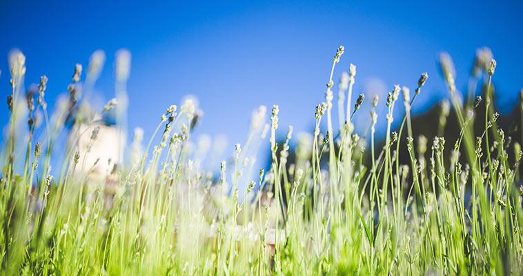 Benefits Essential Oils, Lavender Plants Outdoors