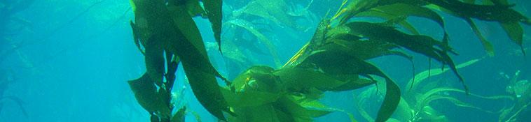 secrets best marine skincare, kelp