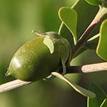 natural oils, jojoba plant