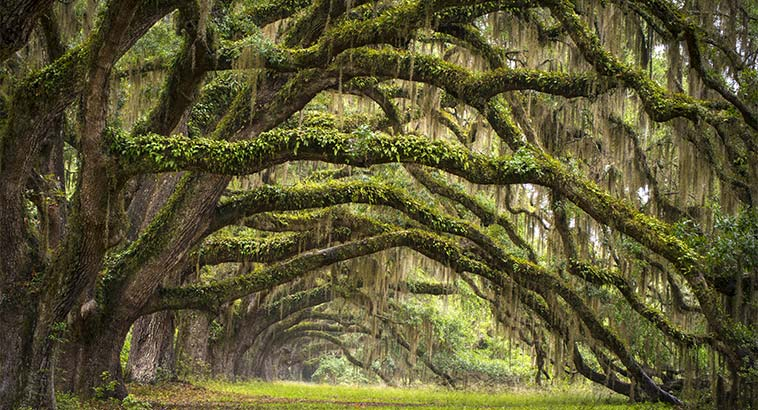 Sustainability Stories, Line Of Live Oaks In Charleston, SC