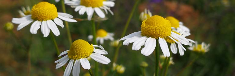 best all-natural lotion ingredients, allantoin from chamomile