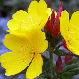 evening primrose oil for dry skin