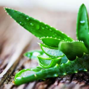aloe vera, an all-natural body moisturizer ingredient